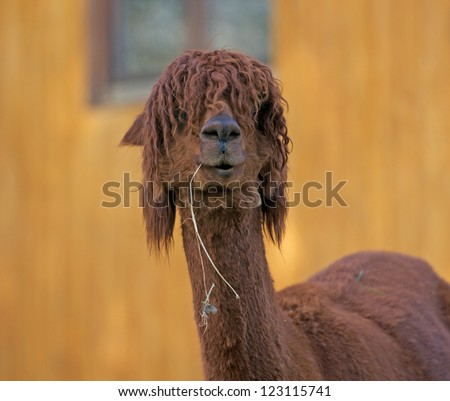 alpaca eating hay - stock photo