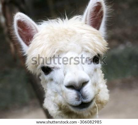 Alpaca eye looking ,Llamas (Alpaca) in Andes,Mountains, wild animal in Peru - stock photo