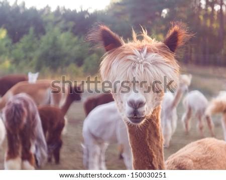 alpaca face - stock photo