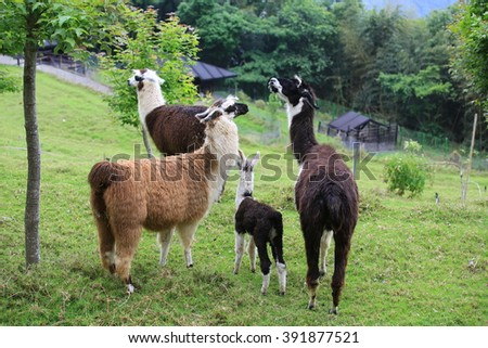 Alpaca family - stock photo