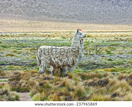Alpaca grazing in the desert plateau of the Altiplano - Bolivia, South America - stock photo