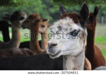 Alpaca herd at a fiber farm in Siler City, North Carolina near Raleigh. - stock photo