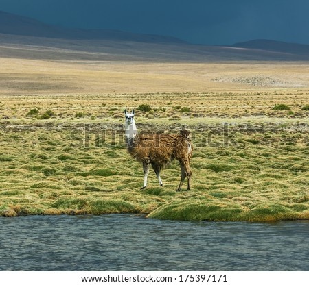 Alpaca herd grazing in the desert plateau of the Altiplano, Bolivia