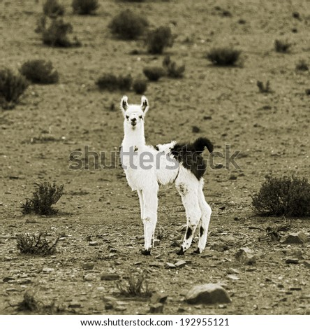 Alpaca herd grazing in the desert plateau of the Altiplano, Bolivia (stylised retro) - stock photo