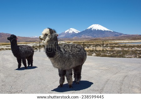 Alpaca in Lauca National Park, northern Chile. Alpaca are domesticated animals kept for their fine wool and meat. In the background are the volcanoes Parinacota (6342m) and Pomerape (6240m). - stock photo