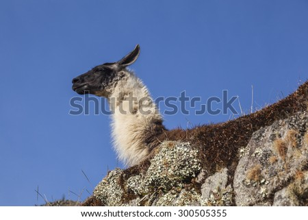 Alpaca in Machu Picchu, was designed Peruvian Historical Sanctuary in 1981 and a World Heritage Site by UNESCO in 1983. - stock photo