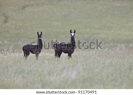 Alpaca in Saskatchewan field - stock photo