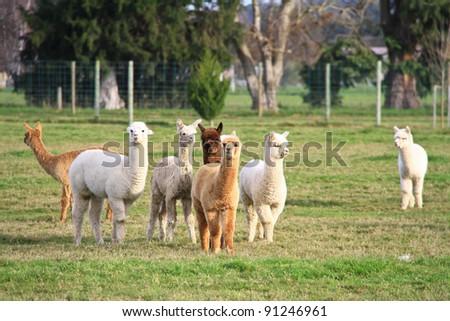 alpaca new zealand kennel - stock photo