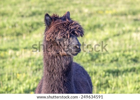 alpaca portrait at green meadow in the zoo - stock photo