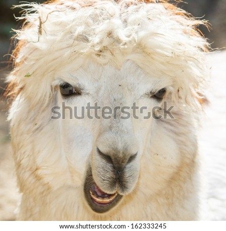 Alpaca Portrait closeup