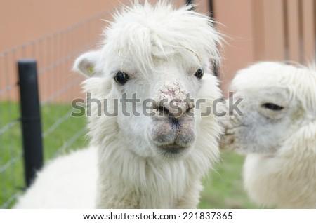 alpaca portrait in zoo - stock photo
