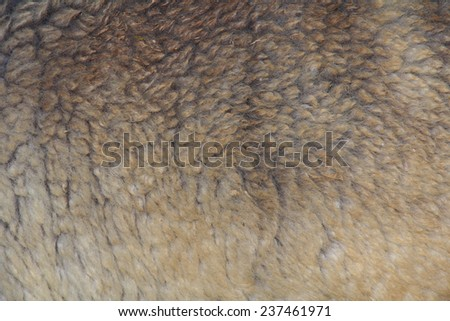 Alpaca textured fur detail on a animal - stock photo