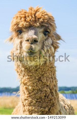Alpaca, Vicugna pacos - stock photo