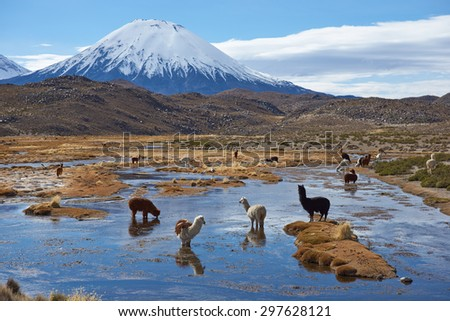 Alpaca (Vicugna pacos) grazing in a wetland area, also known as a bofedal in Spanish,  at the base of the snow capped Parinacota Volcano, 6324m high, in the Altiplano of northern Chile. - stock photo