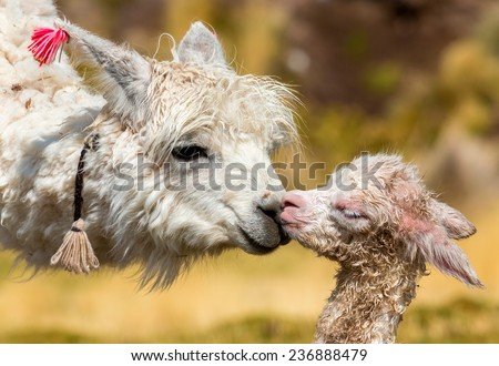 alpaca with baby on southern Altiplano, Bolivia