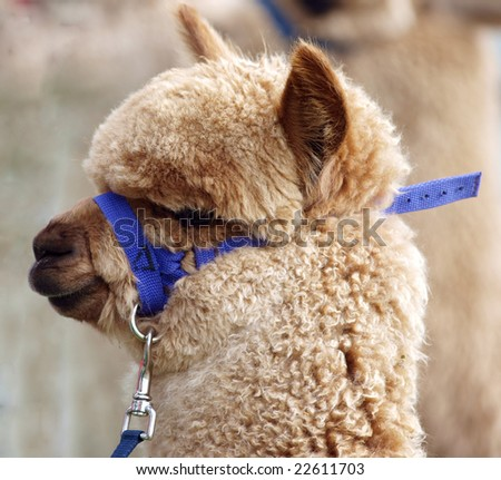 Alpaca with Blue Halter and Lead - stock photo