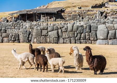 Alpacas at Sacsayhuaman, Incas ruins in the peruvian Andes at Cuzco Peru - stock photo