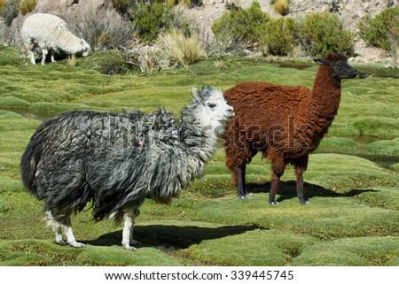 Alpacas grazing in volcano isluga national park, Chile - stock photo