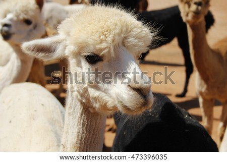 Alpacas in New Mexico