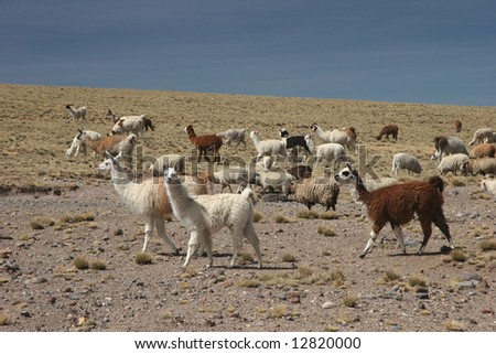 Alpacas pasture on the Andes grassland in Peru. Animal theme. - stock photo