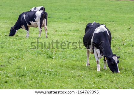 Alpen cow on a green meadow.  - stock photo