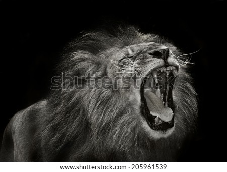 alpha male african lion showing aggression during mating behavior - stock photo
