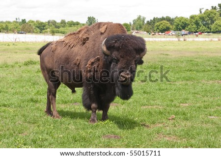 Alpha male American buffalo in a field, looking at the camera