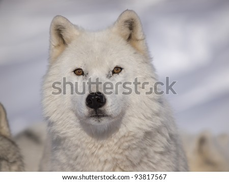 Alpha male arctic wolf watching in snow - stock photo