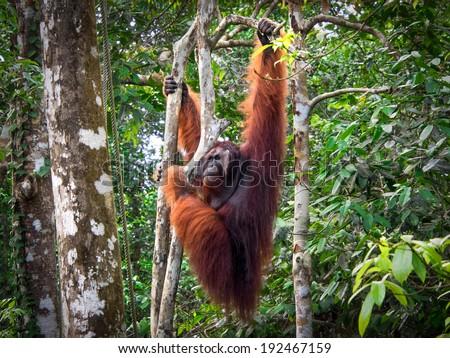 Alpha male Borneo Orangutan at the Semenggoh Nature Reserve near Kuching, Sarawak State, Malaysia.  - stock photo