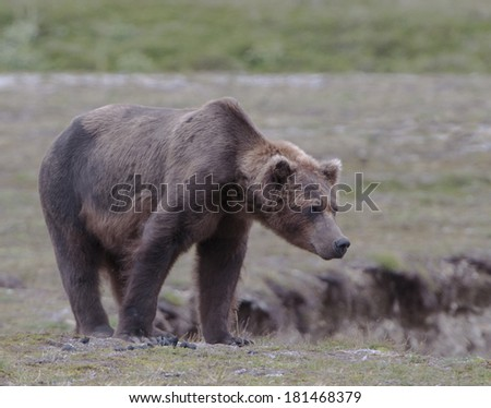 Alpha male grizzly bear surveying the river from a ledge above it. - stock photo