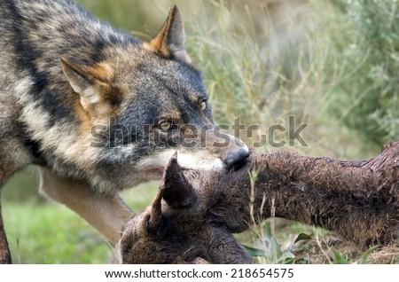 Alpha male Iberian Wolf (Canis lupus sygnatus) feeding on Roe Deer (Capreolus capreolus). Spain - stock photo