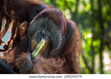 alpha male orangutan feeding on sugar cane - stock photo