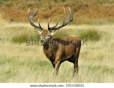 alpha stag - stock photo