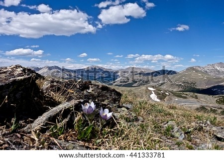 Alpine anemone wild flowers in Rocky Mountains. Pasque Flower or Pulsatilla found on Cottonwood Pass near Buena Vista and Denver, Colorado, USA.  - stock photo