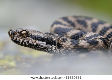 alpine asp viper portrait - stock photo