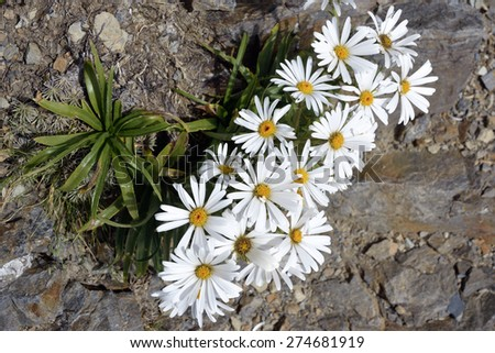 Alpine Chamomile flowers in Southern Alps, New Zealand. - stock photo