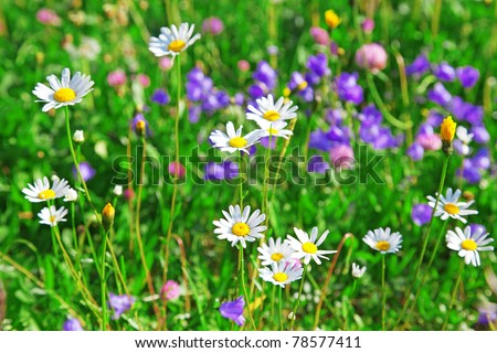 Alpine chamomiles in the grass with shallow DOF. - stock photo
