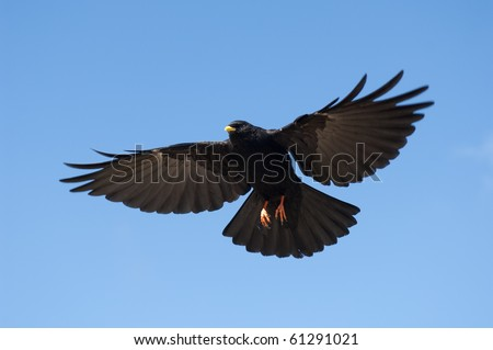 Alpine Chough, Bavarian Alps, Germany, Europe