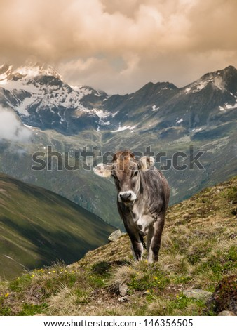Alpine cow in Sellrein area (Austria) - stock photo