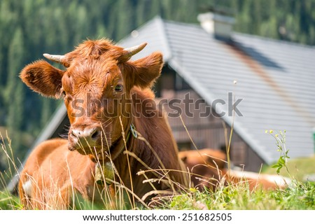 Alpine cow ruminating, and relaxing on pasture - stock photo