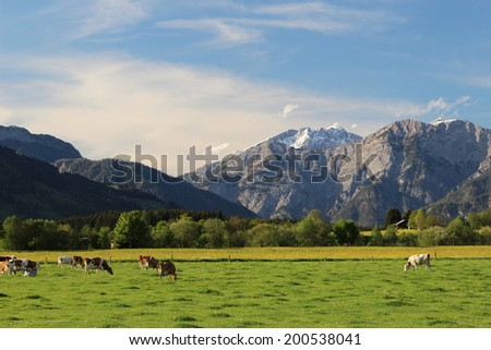 Alpine cows grazing in a meadow in the Austrian Alps - stock photo