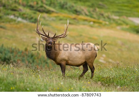 Alpine Elk, Rocky Mountain National Park