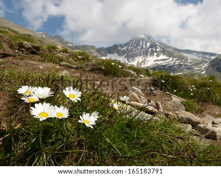 alpine flowers as a nature background - stock photo