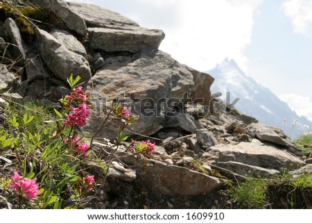 Alpine flowers with boulders - stock photo