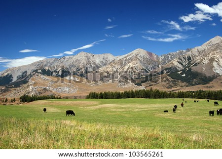 Alpine green meadow with grazing cattle. Southern Alps. New Zealand
