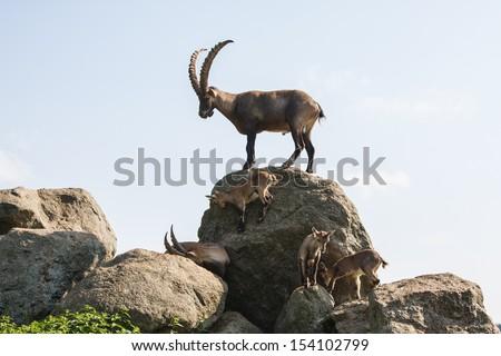 Alpine Ibex - stock photo