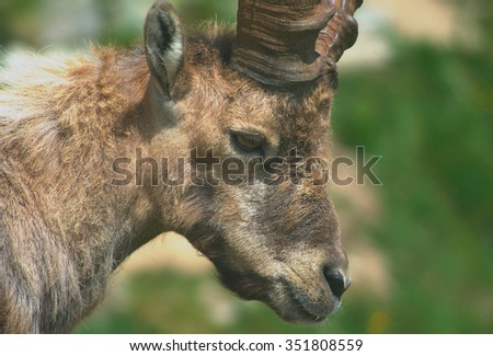 Alpine Ibex (Capra ibex): portrait of an adult male specimen.