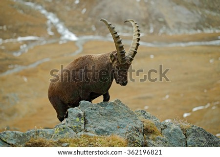 Alpine Ibex, Capra ibex, portrait of big antler animal with rocks in background, in the nature stone mountain habitat, valley in the background, France - stock photo