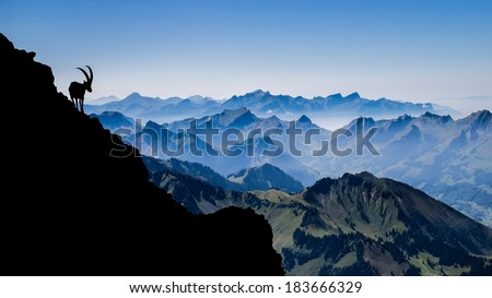 Alpine ibex on the slopes of Vanil Noir, the highest mountain in the canton of Fribourg - Switzerland  - stock photo