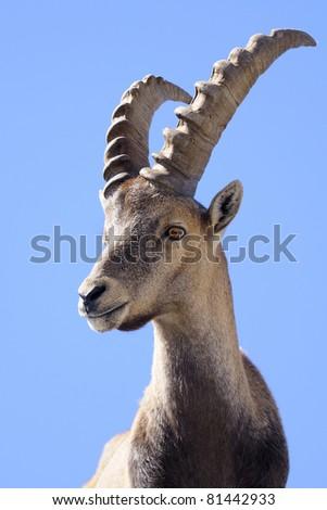 Alpine ibex - Steinbock - Portrait - stock photo